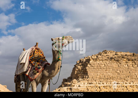 Camel on Giza Pyramids background in Egypt. Travel concept - Stock Photo