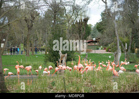 Phoenicopterus ruber - Zoo of Madrid, Spain - Stock Photo