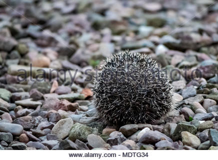 Close up of European hedgehog in garden at dusk rolled into a defensive ball, East Lothian, Scotland, United Kingdom - Stock Photo