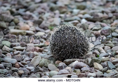 Close up of a European hedgehog in a gravel garden at dusk rolled into a defensive ball, Scotland, United Kingdom - Stock Photo