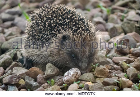 Close up of European hedgehog in garden at dusk, East Lothian, Scotland, UK - Stock Photo