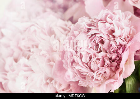 Beautiful toned pink peonies in the sunlight. Extremely shallow depth of field with selective focus on flower in foreground. - Stock Photo