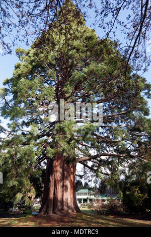 A giant Sequoia tree in the Queentown Gardens, Queenstown, South Island, New Zealand., - Stock Photo