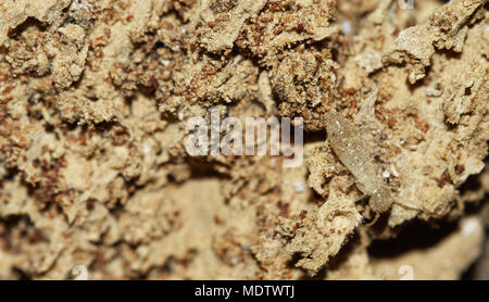 Drywood termite worker going over rotten wood, tunnels and faecal pellets (termite droppings). Soft and pale colored body. - Stock Photo