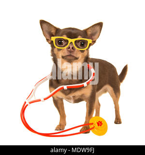 Cute chihuahua dog with a stethoscope and glasses isolated on a white background - Stock Photo
