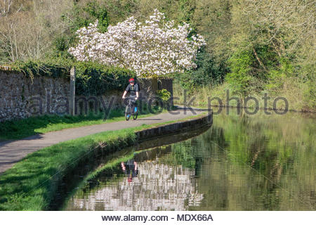Bolton le Sands, Lancashire, UK, 20 April 2018, glorious sunshine on a magnolia tree in full blossom, reflected in the Lancaster Canal at Bolton le Sands. A cyclist makes the most of the summer like weather. Credit: Keith Douglas News/Alamy Live News - Stock Photo