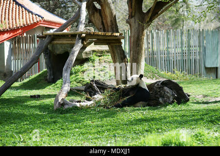 Panda (Ailuropoda melanoleuca) eating bamboo at Madrid Zoo, Spain - Stock Photo