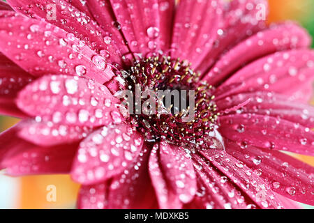 Pink gerber daisy macro with water droplets on the petals.. Extreme shallow depth of field. - Stock Photo