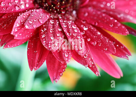 Red gerber daisy macro with water droplets on the petals.. Extreme shallow depth of field. - Stock Photo