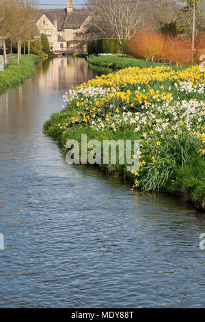 Daffodils in spring along the river windrush in Bourton on the Water, Cotswolds, Gloucestershire, England - Stock Photo