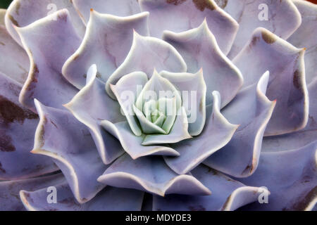Pattern and abstract of succulent flower - Stock Photo