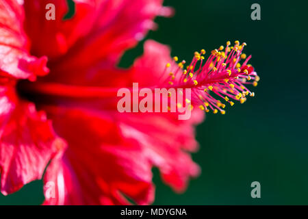 Lateral macro photography of a hibiscus flower. - Stock Photo