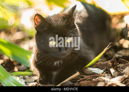 Young black cat hiding in the undergrowth - Stock Photo