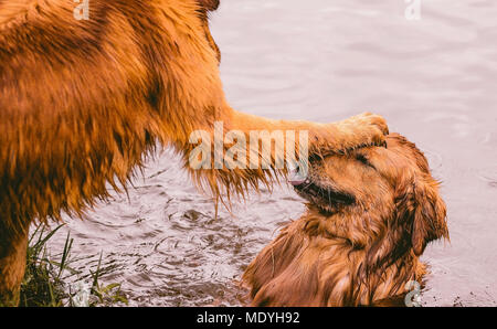 Funny scene of a dog with a paw on the head of the other dog. Dog with tongue out, dogs playing on the lake. Golden Retriever dogs. - Stock Photo