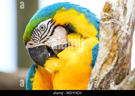 A yellow and blue macaw grooms his feathers. - Stock Photo