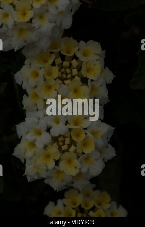 Close up of white Hydrangea flowers against a dark background - Stock Photo