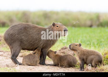 Capybara (Hydrochaeris hydrochaeris) - Stock Photo