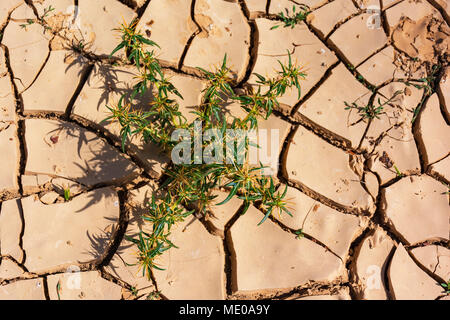 green and yellow thistle plant growing in red cracked clay mud - Stock Photo