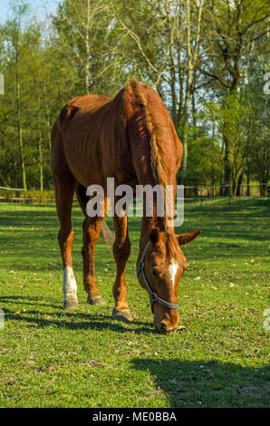 Young chestnut mare horse with white patch on its forehead grazing in the pasture/field. Public ground in Zabrze, Silesian Upland, Poland. - Stock Photo