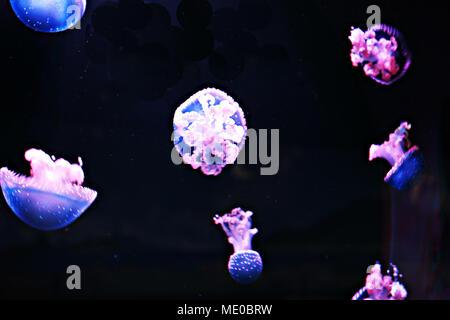 White-spotted Jellyfishs (Phyllorhiza punctata) in the Oceanarium of Madrid, Spain - Stock Photo