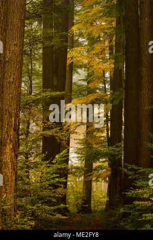 Autumnal Beech forest (Fagus), Mindelheim, Unterallgäu, Bavaria, Germany - Stock Photo