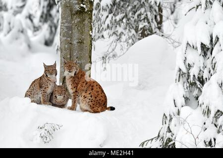 Eurasian lynxes (Lynx lynx), mother sits with kittens in the snow, captive, Germany - Stock Photo
