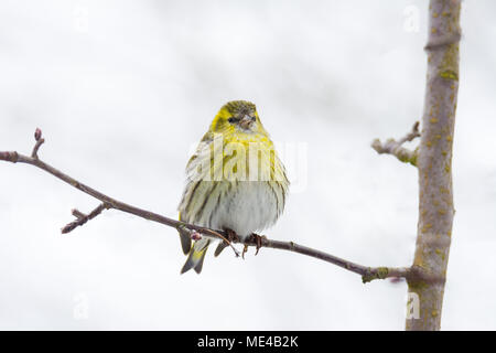 Female black-headed goldfinch sitting on a twig - Stock Photo