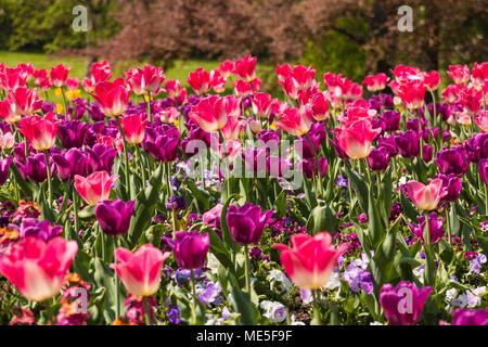 A beautiful field full of purple, pink and white tulips (Tulipa Negrita) with white, purple and pink garden pansies (Viola) in between. - Stock Photo
