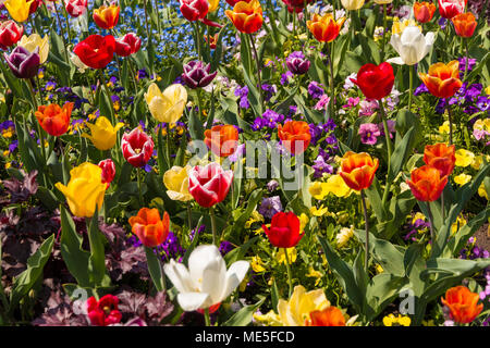 A nice colourful field full of purple, pink, yellow, red, orange and white garden pansies (Viola), tulips and blue forget-me-not flowers in springtime. - Stock Photo