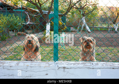 Two watchful and barking dogs behind a fence in the garden - Stock Photo