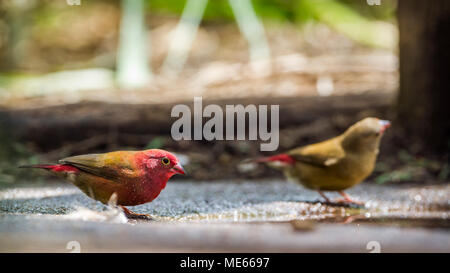 Red-billed firefinch in Mapungubwe national park, South Africa ;Specie Lagonosticta senegala family of Estrildidae - Stock Photo