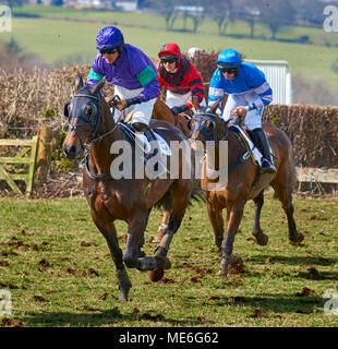 Three horses and riders at full gallop during a point-to-point event - Stock Photo