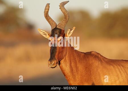 Portrait of a red hartebeest (Alcelaphus buselaphus), Kalahari desert, South Africa - Stock Photo