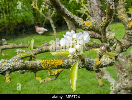 Close-up of fresh Apple Blossom seen on a  commercial cider tree in late spring. The background shows a solitary, free range chicken. - Stock Photo