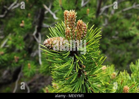 Cone and male flowers of dwarf mountainpine (Pinus mugo) - Stock Photo