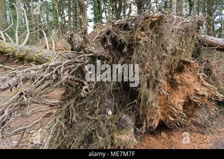 fallen pine tree showing exposed root system - Stock Photo