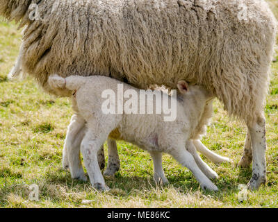West Linton, Scottish Borders, Scotland, United Kingdom, April 21st 2018.  Spring sunshine in the countryside, with newborn twin lambs suckling from a ewe in a field - Stock Photo
