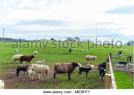 Linlithgow, UK. 22 April, 2018.  UK Weather.  Ewes and spring lambs in pasture near Linlithgow. Photo: Roger Gaisford/Alamy Live News. - Stock Photo