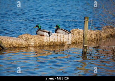Two male Mallard ducks Anas platyrhynchos sitting on straw bales in the water of a Cheshire lake / mere /pomd - Stock Photo