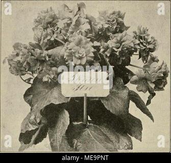 """. Die Gartenwelt . Begonia """"Prinzess Ilse"""". Originplaufhahme für die """"Garteiiwelt'*. die die Bastarde bis zum Hervorbringen neuer Blüten gebrauchen, ist ziemlich lange. Von der Befruchtung an gerechnet brauchen Calanthe und Cypriptdilum die kürzeste Zeit, 4—6 Jahre, während Eptdendrum, Cattleya 12 —15, ja 18 Jahre gebrauchen. Viel weniger sorgfältig verfährt man bei der Bastardierung der Bromeliaceen. Die Pollenmassen werden den Blüten ent- nommen, die zu befruchtende Pflanze wird auf einen sonnenhellen, trockenen Platz gestellt. Hier entfaltet sie bald ihre Blüte voll- ständig und kann n - Stock Photo"""