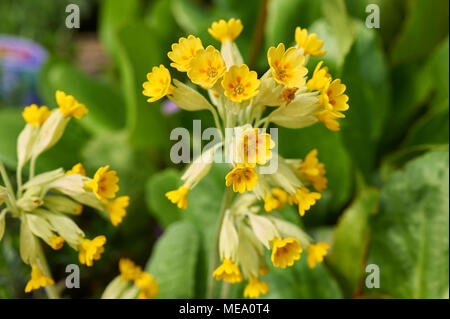 Wild Cowslips (Primula veris) in close-up - Stock Photo