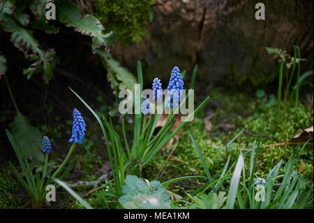 Grape Hyacinth (Muscari) growing in damp woodland. - Stock Photo