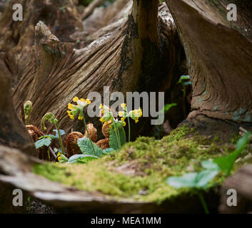Cowslips (primula veris) growing in the base of an old tree stump in the spring sunshine - Stock Photo