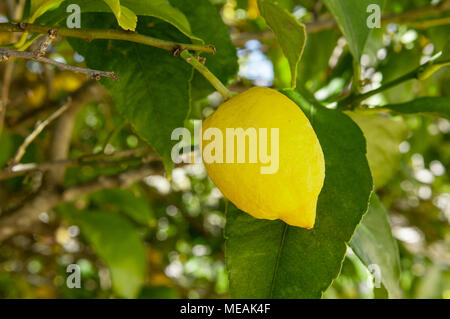 Lemons growing on a lemon tree, Portugal - Stock Photo