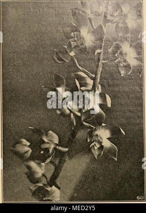 """. Die Gartenwelt . Moorea irrorata (Teilstück des Blütenstandes). Im Kgl. Berggarten zu Herrenhausen für die """"Gartenwelt"""" photo- graphisch aufgenommen. - Stock Photo"""