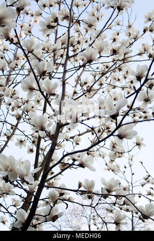 Magnolia tree blooming with white flowers from below - Stock Photo