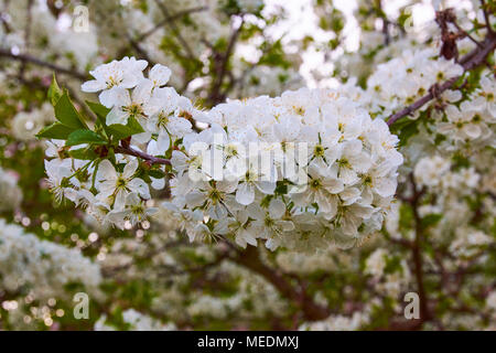 Closeup view of tree apple blossoms with set sun in background - Stock Photo