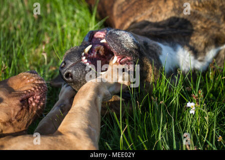 Working Pit Bulldog friends playing on a meadow on a sunny spring day - Stock Photo