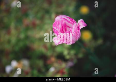 Magenta tulip with green background in Brussels Belgium - Stock Photo