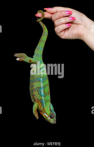 woman hand holding alive chameleon reptile by tail. studio shot on black background. copy space. - Stock Photo